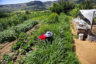 A female farmer weeding her vegetables in rural Lesotho, Africa