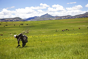 A woman collecting firewood rural Lesotho, Africa