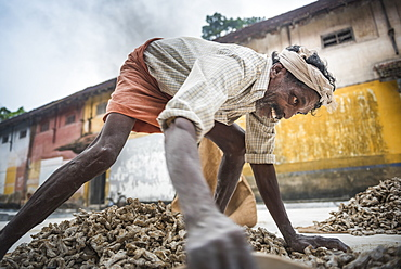 Sorting ginger at a market in Fort Kochi (Cochin), Kerala, India, Asia