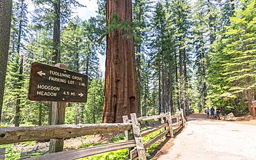 Giant Sequoias, Yosemite Valley, UNESCO World Heritage Site, California, United States of America, North America