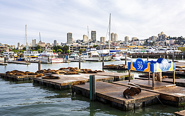 Sea Lions on Pier 39 in Fishermans Wharf, San Francisco, California, United States of America, North America