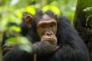 Glum looking adolescent chimpanzee at Kibale Forest National Park, Uganda, Africa