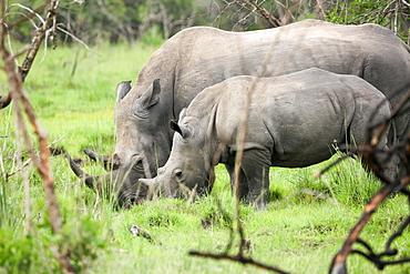 Southern white rhinos, mother and calf, at Ziwa Rhino Sanctuary, Uganda, Africa