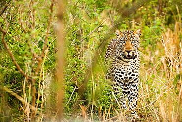 Leopard in Uganda's Murchison Falls National Park, Uganda, Africa