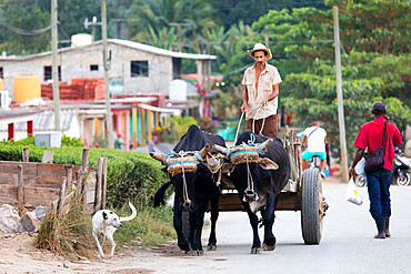 Farmer on cart pulled by oxen, Vinales, UNESCO World Heritage Site, Cuba, West Indies, Caribbean
