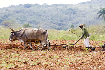 Tobacco farmer ploughing a tobacco field with oxen in Vinales, Pinar del Rio, Cuba, West Indies, Caribbean, Central America