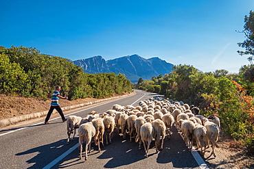 Shepherd with flock on road to Orgosolo in Sardinia, Italy, Europe