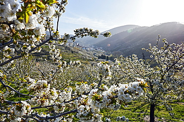 Cherry trees in bloom in the Jerte River valley, Extramadura, Spain, Europe