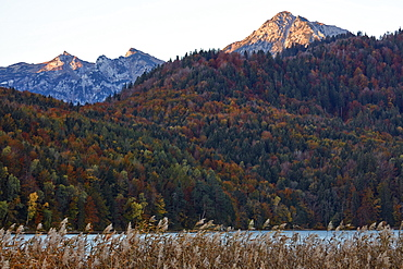 Fall foliage in the Bavarian Alps at lake Weissensee, Bavaria, Germany, Europe