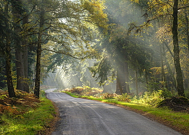 Sunbeams visible in a light mist adding atmosphere amongst the trees on Rhinefield Ornamental Drive, New Forest, Hampshire, England, United Kingdom, Europe