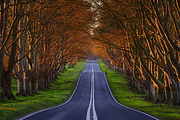 Early spring sunlight on the avenue of ancient beech trees near Kingston Lacy, Dorset, England, United Kingdom, Europe