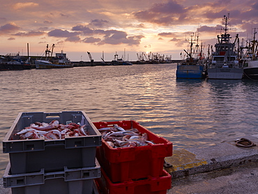 Boxes of Gurnard, just landed from a trawler on the harbourside as the sun rises over the fishing port of Newlyn in Cornwall, England, United Kingdom, Europe