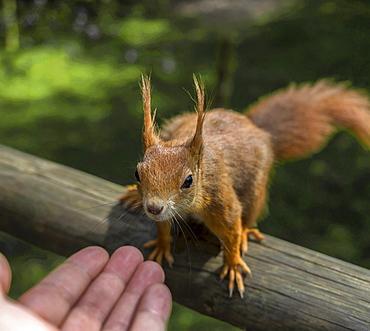 Red squirrel (Sciurus vulgaris), Wildlife park, England, United Kingdom, Europe