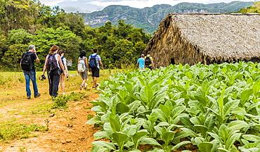 Tourists visiting a tobacco plantation in Vinales National Park, UNESCO World Heritage Site, Vinales Valley, Vinales, Cuba, West Indies, Caribbean, Central America