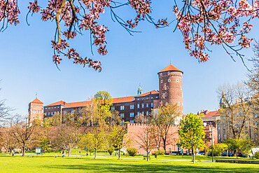 View of Wawel Royal Castle and cherry blossoms in Krakow, Poland, Europe.