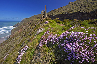 Thrift on the coastal path near the ruins of Wheal Coates tin mine, UNESCO World Heritage Site, near St. Agnes, Cornwall, England, United Kingdom, Europe