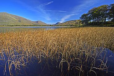 Reed beds on Loch Awe near Kilchurn Castle, Argyll and Bute, Scotland, United Kingdom, Europe
