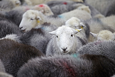 A flock of Herdwick sheep in Cumbria, England, United Kingdom, Europe
