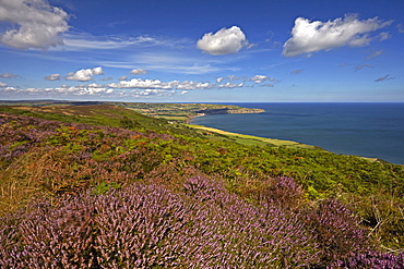 Robin Hood's Bay from the heather covered coast above Ravenscar, North Yorkshire, England, United Kingdom, Europe