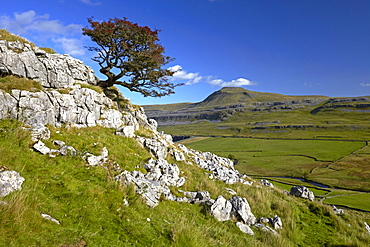 A lone tree on Twistleton Scar with Ingleborough in the distance, Yorkshire Dales National Park, North Yorkshire, England, United Kingdom, Europe