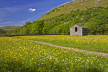 Buttercup meadows near Muker, Swaledale, Yorkshire Dales, North Yorkshire, England, United Kingdom, Europe