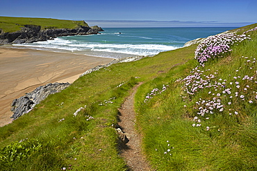 Thrift growing alongside the coastal path above Porth Joke beach near Crantock, Cornwall, England, United Kingdom, Europe
