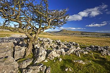 Ingleborough seen from Twistleton Scar, Yorkshire Dales National Park, North Yorkshire, England, United Kingdom, Europe