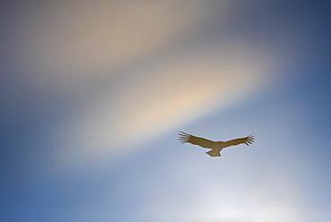 Condor in flight, Los Glaciares National Park, Santa Cruz Province, Patagonia, Argentina, South America