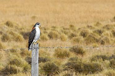 Red-backed Hawk (Variable hawk), Los Glaciares National Park, Santa Cruz Province, Patagonia, Argentina, South America