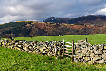 Dry stone wall and grazing sheep, Lake District National Park, UNESCO World Heritage Site, Cumbria, England, United Kingdom, Europe