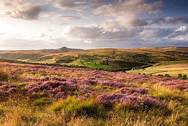 Field of Heather below Shutlinsloe, Wildboarclough, Cheshire, England, United Kingdom, Europe