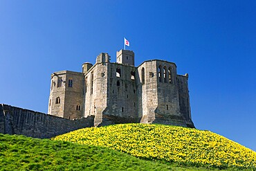 The Great Tower of Warkworth Castle, spring, carpet of golden daffodils on hillside, Warkworth, Northumberland, England, United Kingdom, Europe