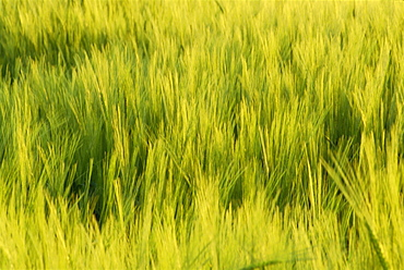 Abstract close-up of young wheat crop