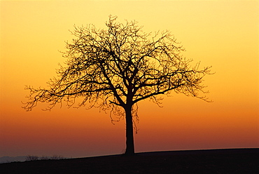 Bare tree silhouetted at dawn, Dordogne, France, Europe