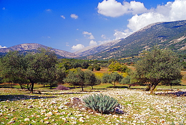 Olive groves, Cephalonia, Ionian Islands, Greece, Europe