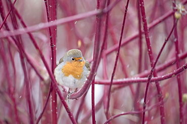 A plump European robin (Erithacus rubecula) forages in a colourful patch of dogwood one winter's morning in Richmond Park, Richmond, Greater London, England, United Kingdom, Europe