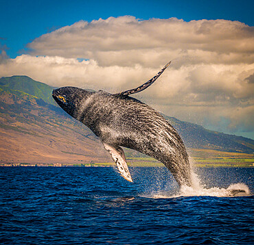Mother whale fully breeches the water. Maui, Hawaii