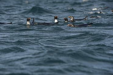 RockHopper Penguins (Eudyptes chrysocome) Isla de Los Estados (Staten Island), an Ecological and Historical Reserve has been off limits to tourism since 1923