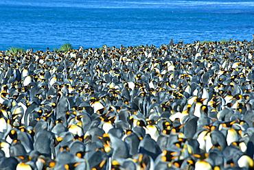 King Penguins (Aptenodytes patagonicus)
