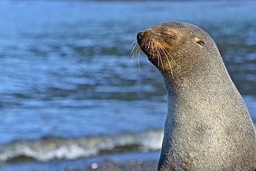Antarctic fur seal (Arctocephalus gazella), Stromness Bay in South Georgia
