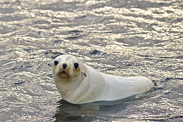 Blond or gold morph Antarctic Fur Seal (Arctocephalus gazella), Stromness Bay in South Georgia