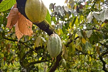 Cacao Plantation, Ilheus, São Jorge dos Ilhéus, Brazil