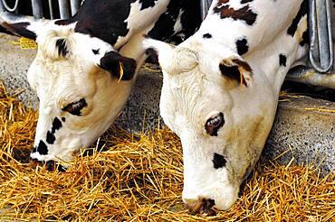 Normande cows.