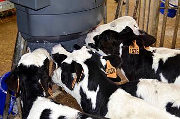 Holstein Fresian calves.