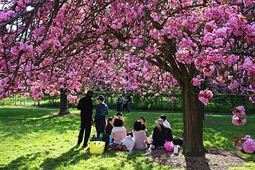 Cherry blossoms in Sceaux Park.