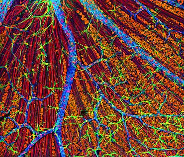 Retina, Fluorescent LSM