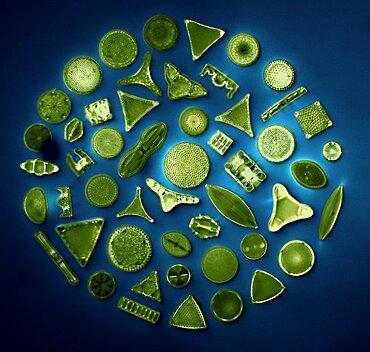 50 Diatom Species, Photomicrograph