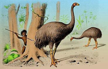 Dinornis, Giant Moa, Cenozoic Bird