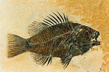 Priscacara Fossil, Eocene Sunfish