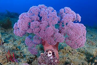 Dendronepthya soft coral